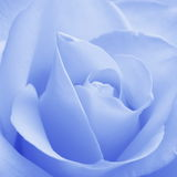 Blue Rose - Stock Photos. Blue Rose Background : Flower Valentines card or wedding wallpaper stock photography