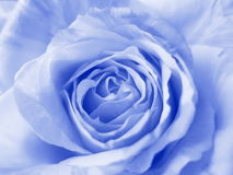 Blue Rose - Stock Photos. Blue Rose Background : Flower Valentines card or wedding wallpaper stock images