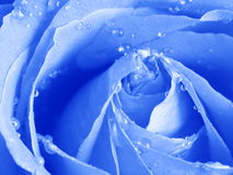 Blue Rose - Stock Photos. Blue Rose Background : Flower Valentines card or wedding wallpaper stock image