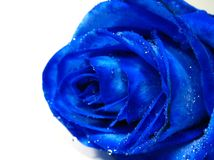 Blue rose with water drip Royalty Free Stock Image