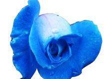 Blue rose with water drops. Blue rose with rain drops close up, isolated in white background Stock Photography