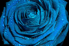 Blue rose with water drops. Royalty Free Stock Image