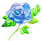 Blue Rose. Watercolor painting. Royalty Free Stock Photography