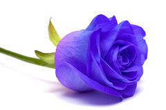 Blue rose on white Stock Photos