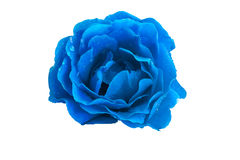 Blue rose on a white background close up Stock Images