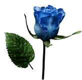 Blue rose  on white isolated background with clipping path.  No shadows. Closeup.  A flower on a stalk with green leaves after a r Royalty Free Stock Photos