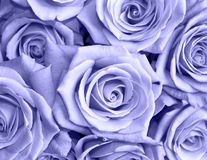 Blue roses Stock Images
