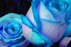 Blue Roses. Studio macro image of two blue roses Royalty Free Stock Photo