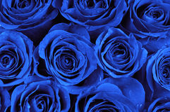 Blue roses Royalty Free Stock Photos