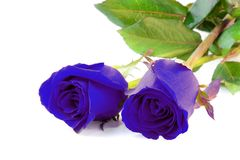 Blue roses isolate on white background Royalty Free Stock Photo