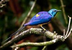 Blue Royal Starling Bird Royalty Free Stock Image