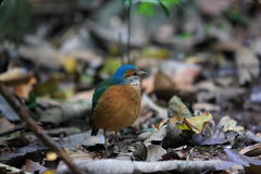 Blue-rumped pitta Stock Images
