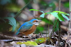 Blue-rumped pitta Royalty Free Stock Photography