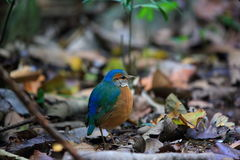 Blue-rumped pitta Royalty Free Stock Images