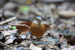 Blue-rumped pitta Stock Photography
