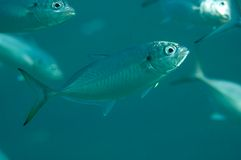 Blue Runner. Fish swimming in a school Royalty Free Stock Image