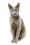 Blue Russian cat Stock Photography