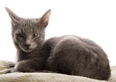 Blue Russian Shorthair Stock Images