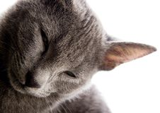 Blue Russian Shorthair cat Royalty Free Stock Photo