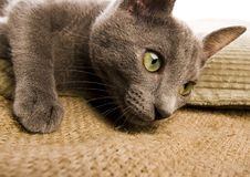 Blue Russian Shorthair cat Stock Image