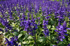 Blue sage. Many blue sage in the field.It's quite beautiful Royalty Free Stock Image