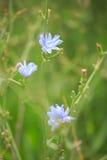 Blue sage wildflower (Salvia azurea) Stock Image