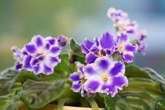 Blue saintpaulia flower Stock Image