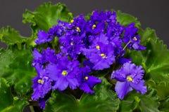 Blue Saintpaulia flowers in flowerpots on dark background stock photo