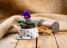 Blue Saintpaulias flowers Stock Images