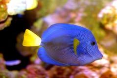 Blue Salt Water Fish Stock Photography