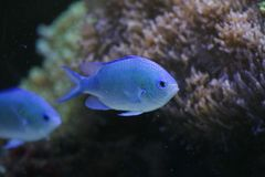 Blue Saltwaer Fish. A blue saltwater fish Royalty Free Stock Photos