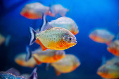 Blue saltwater aquarium. Blue saltwater world in aquarium Stock Photo