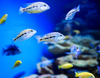 Blue saltwater aquarium Royalty Free Stock Photos