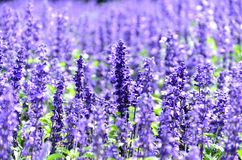 Blue salvia Stock Images