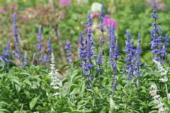 Blue salvia blooming stock images