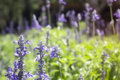 Blue Salvia is blooming in the garden stock photos