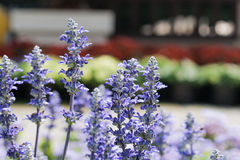 Blue salvia Royalty Free Stock Photography