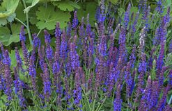 Blue Salvia salvia farinacea flowers blooming in the garden. Violet sage flowers. Background of lilac wildflowers royalty free stock photography