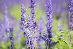 Blue Salvia Flower. Beautiful blue salvia flower Scientific name is Salvia farinacea Benth Normal name is Mealy Cap Sage blooming in the garden stock photography