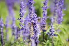 Blue Salvia Flower. Beautiful blue salvia flower Scientific name is Salvia farinacea Benth Normal name is Mealy Cap Sage blooming in the garden royalty free stock images