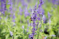 Blue Salvia Flower. Beautiful blue salvia flower Scientific name is Salvia farinacea Benth Normal name is Mealy Cap Sage blooming in the garden royalty free stock photo