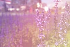 Blue Salvia Flower. Beautiful blue salvia flower Scientific name is Salvia farinacea Benth Normal name is Mealy Cap Sage blooming in the garden. Pastel tone royalty free stock image