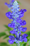 Blue Salvia flower in blue purple color on a blurred background Stock Images
