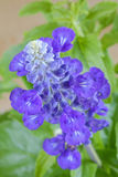 Blue Salvia flower in blue purple color on a blurred background Royalty Free Stock Images