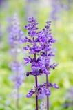Blue salvia flower Royalty Free Stock Image