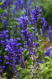 Blue Salvia flower. In the garden Royalty Free Stock Photography