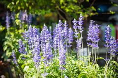 Blue Salvia Flower in garden. Closeup royalty free stock images