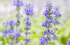 Blue Salvia flower, Salvia farinacea Benth-Mealy Cap Sage. Royalty Free Stock Photos