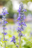Blue Salvia flower, Salvia farinacea Benth-Mealy Cap Sage. Royalty Free Stock Image