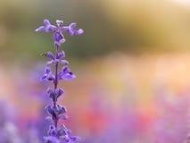 Blue salvia flower. Selective focus background stock image